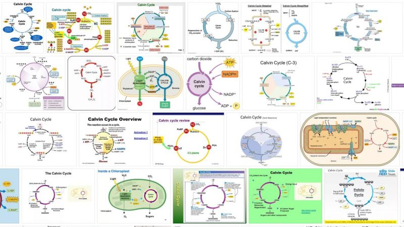 Calvin Cycle Definition and Meaning