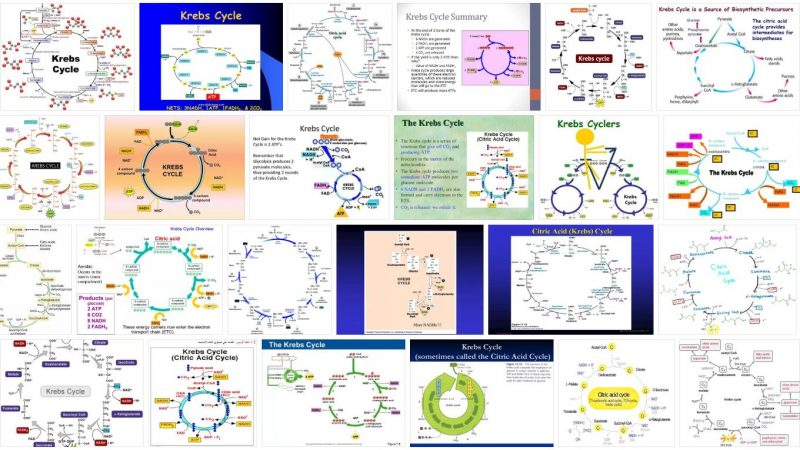 Krebs Cycle Definition and Meaning
